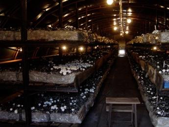 mushroom_cultivation_2